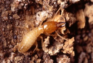 moreno valley termite removal